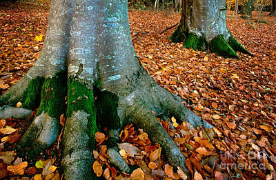 Tree Roots Photograph - Swedish Beech Forest by Inge Johnsson