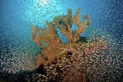School Of Fish Photograph - Sweeper Fish (pempheridae by Jaynes Gallery