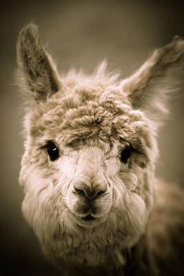 Alpaca Photograph - Sweet Alpaca by Shane Holsclaw