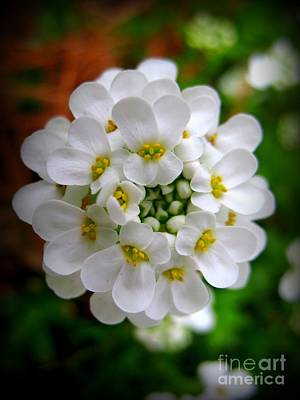 Sweet Alyssum Art Print by Patti Whitten