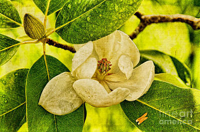 Sweet Bay Magnolia After The Rain Art Print by Lois Bryan