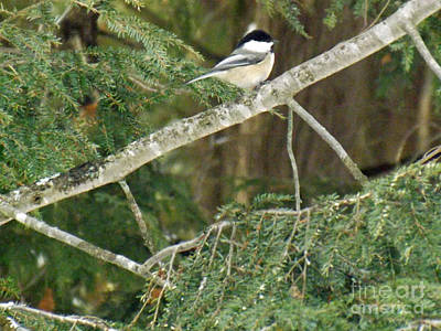 Photograph - Sweet Chickadee by Brenda Brown