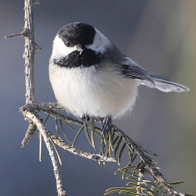 Sweet Chickadee Art Print by John Kunze
