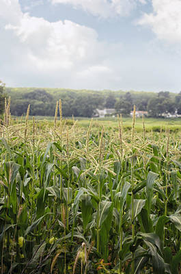 Photograph - Sweet Corn Grows On A Connecticut Farm by Marianne Campolongo