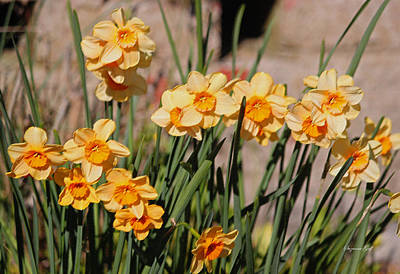 Nature Photograph - Sweet Daffodils II by Suzanne Gaff