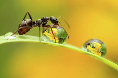 Ant Wall Art - Photograph - Sweet Dew by Liangdawei