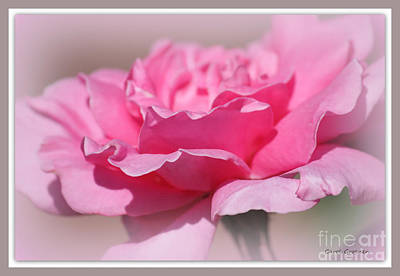 Sweet Dreams Photograph - Sweet Dreams Pink Rose  by Carol Groenen