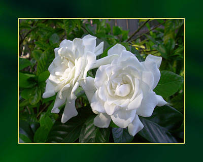 Photograph - Sweet Gardenia by Ginny Schmidt