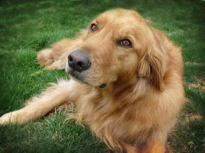 Labrador Photograph - Sweet Golden Retriever by Larry Marshall
