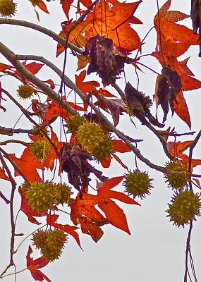 Photograph - Sweet Gum Balls by Jean Wright