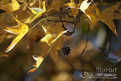 Photograph - Sweet Gum Catkin 20121020_26 by Tina Hopkins
