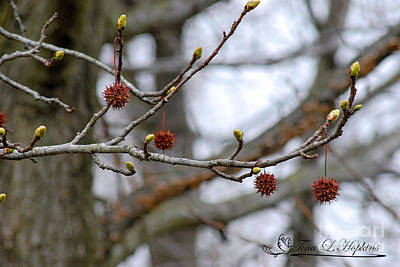 Photograph - Sweet Gum Catkins 20120321_61a by Tina Hopkins