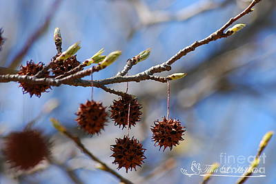 Photograph - Sweet Gum Catkins 20120405_219a by Tina Hopkins