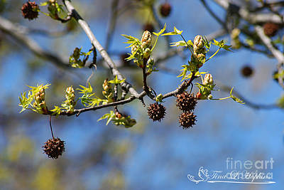 Photograph - Sweet Gum Catkins 20120406_134a by Tina Hopkins