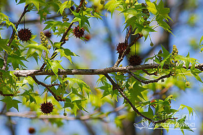 Photograph - Sweet Gum Catkins 20120419_75a by Tina Hopkins