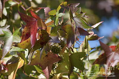 Photograph - Sweet Gum Leaves 20121004_308 by Tina Hopkins