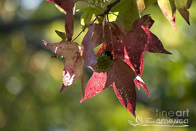 Photograph - Sweet Gum Leaves 20121004_321 by Tina Hopkins