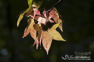 Photograph - Sweet Gum Leaves 20121004_324 by Tina Hopkins