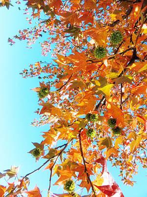 Photograph - Sweet Gum Tree by Shawna Rowe