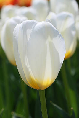 Photograph - Sweet Harmony Tulip by Allen Beatty