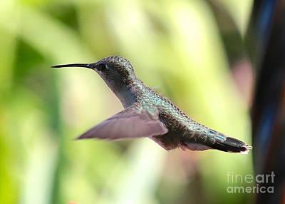 Photograph - Sweet Hummingbird Pose by Carol Groenen