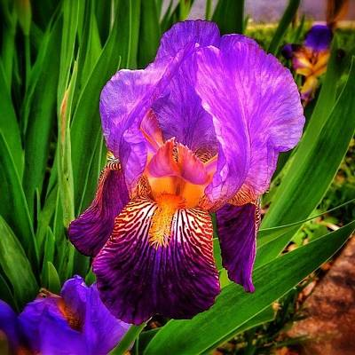 Hdr Photograph - Sweet Iris Perfection by Paul Cutright