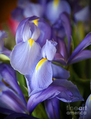 Photograph - Sweet Iris by Sabrina L Ryan