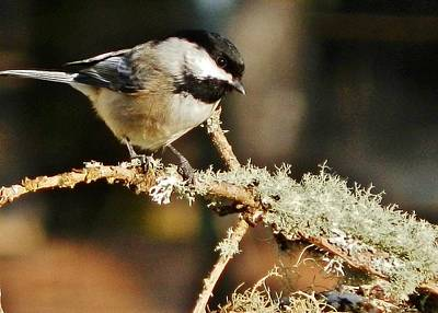 Photograph - Sweet Little Chickadee by VLee Watson