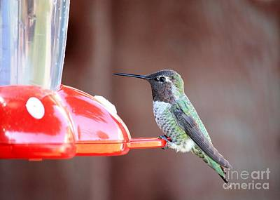 Photograph - Sweet Little Hummingbird On Feeder by Carol Groenen