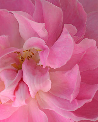 Delicately Photograph - Sweet Loving Rose by The Art Of Marilyn Ridoutt-Greene