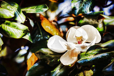 Photograph - Sweet Magnolia Blossom by Sennie Pierson