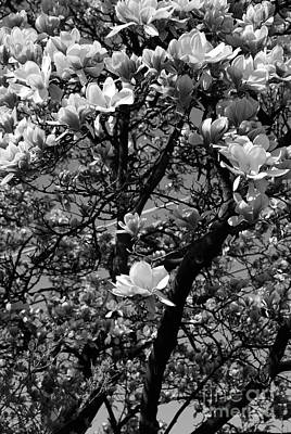 Frank J Casella Royalty-Free and Rights-Managed Images - Sweet Magnolia  by Frank J Casella