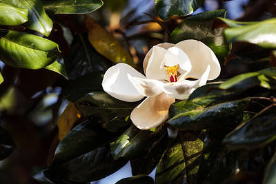 Photograph - Sweet Magnolia by Sennie Pierson