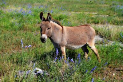 Sweet Miniature Donkey Print by Lynn Bauer