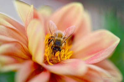 Photograph - Sweet Nectar by Donna Blackhall