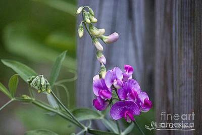 Photograph - Sweet Pea 20120707_100a by Tina Hopkins