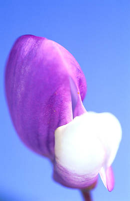 Photograph - Sweet Pea by Carl Perkins