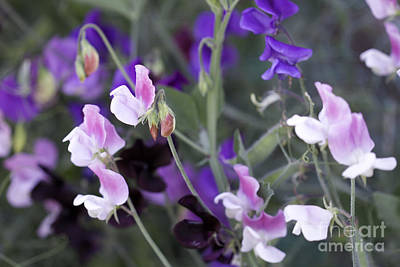 Photograph - Sweet Pea Collection by Donna L Munro