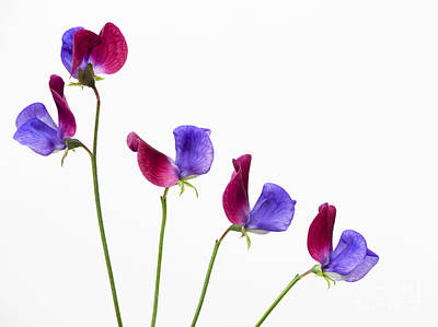 Annual Photograph - Sweet Pea Cupani Flowers by Tim Gainey