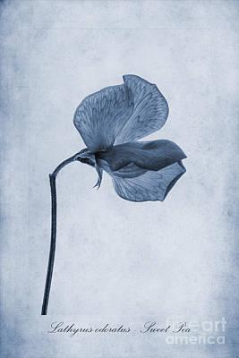 Isolated Digital Art - Sweet Pea Cyanotype by John Edwards