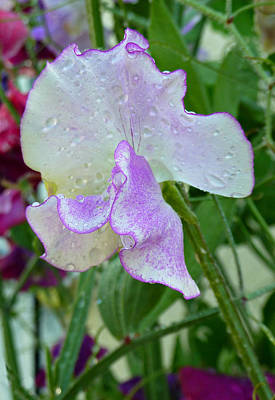 Photograph - Sweet Pea by Debra Collins