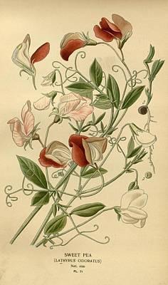 Flowers Painting - Sweet Peas by Philip Ralley