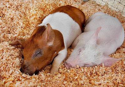 Print featuring the photograph Sweet Piglets Nap by Valerie Garner