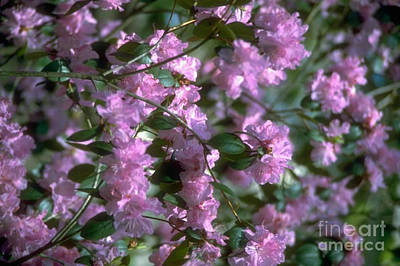 Photograph - Sweet Pink Blossomin Springtime by Ava Larsen