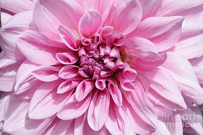 Dahlias Photograph - Sweet Pink Dahlia by Carol Groenen