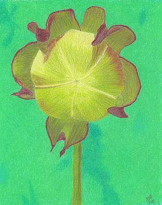 Drawing - Sweet Pitcher Plant by Sheila Byers