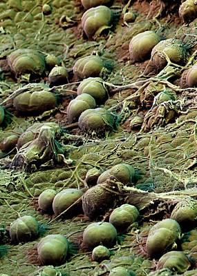Sweet Potato Leaf Glands Art Print