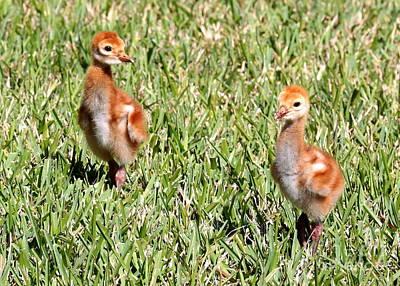 Baby Bird Photograph - Sweet Sandhill Crane Chicks by Carol Groenen