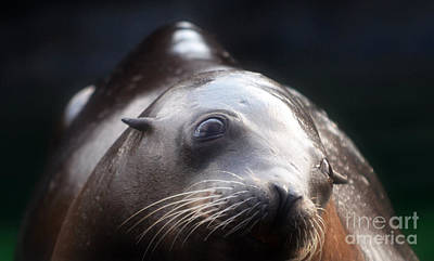 Photograph - Sweet Sea Lion Face by Peggy Franz