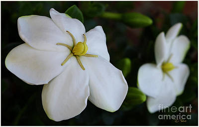 Photograph - Sweet Smell Of Gardenias  by James C Thomas
